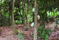 "Cacao (also ""cocoa"") trees with a couple of unripe pods."