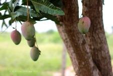 "On our walk, we found ourselves on the University of Ghana's ""Model Farm."" Mangoes! Lots of trees, an avenue too, of Mangoes."