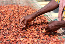 Some cacao beans being dried and sorted.