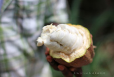 Inside a cacao pod: Tastes a little like the cousin of an orange - not quite what one imagines!